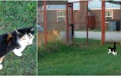 Katinas drąsuolis: nebijojo stoti prieš liūtą