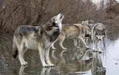 Švedija sustabdė vilkų medžioklę