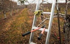 Kokius sodo vaismedžius bei vaiskrūmius tinka genėti rudenį?