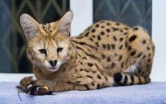 Kaip atrodo brangiausios katės pasaulyje