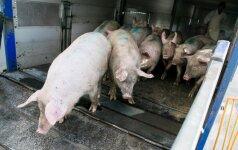 Kaišiadorių rajono įmonė šešėlyje pardavė 220 tonų kiaulienos