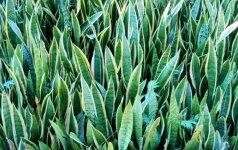 10 sveikatai pavojingų kambarinių augalų