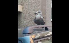 Merginai suspaudė širdį: paukštis kankinasi jau trečią parą