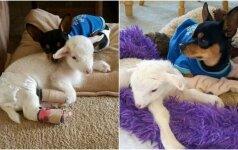 Gyvūnai buvo neišskiriami: prarastą draugę šuneliui primena pliušinė avytė