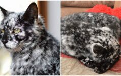 Žilsta ne tik žmonės: štai taip atrodo pražilęs katinas