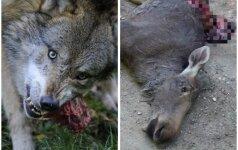 Kraupsta nuo vilkų atakų: matė, kaip doroja briedį