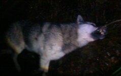 Šiaulių regione sumedžioti dar du vilkai