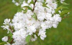 Sakurų žiedų spalva gali būti nuo visiškai baltos (nuotraukoje – Prunus glandulosus 'Alba Plena')...