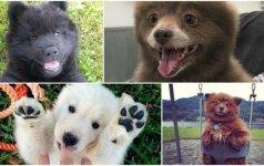 Šunys-meškinai: gerai neįsižiūrėję susipainiotumėte