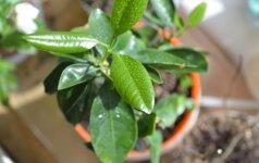 Kaip rūpintis kambariniu augalu, jei ant dirvos paviršiaus atsirado pelėsis