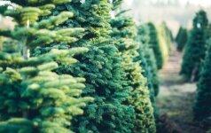 Kaip persodinti eglutę šventėms pasibaigus?