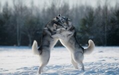 Sibiro haskiai – šunys, visada pasiruošę bėgti