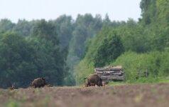 Pasienyje su Baltarusija įrengti šernus atbaidantys repelentai