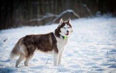 Sibiro haskis ramybę atrado tik trečio šeimininko namuose
