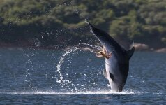 Aštuonkojis – raitomis ant delfino genitalijų