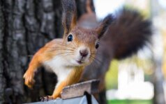 Londonietė voverę palaikė įsilaužėliu