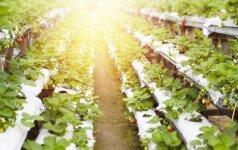 Hidroponika – sodininkavimas be grunto