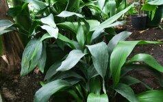 Aspidistra - augalas, kurio žiedus apdulkina sraigės