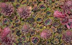 Stoginės šilropės auga apvaliomis ir labai puošniomis rozetėmis.