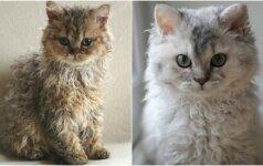 Internautai stebisi garbanotomis katėmis: reta veislė gimė atsitiktinumo dėka