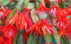Puošnūs žiedai vietoj spyglių – kalėdinis kaktusas ir jo auginimas