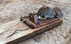 Kaip apsisaugoti nuo pelių ir žiurkių?