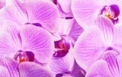 Kaip atgaivinti orchidėją?