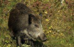 Įtariama, jog dar dviejuose Baltarusijos regionuose šernai serga kiaulių maru