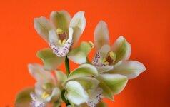 Orchidėjų priežiūros kalendorius