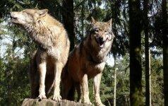 Įdomūs faktai apie vilkus