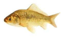 Nuosavos kūdros įžuvinimas žuvų auginimui maistui