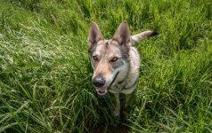 Nesuvokiamas elgesys Vilkaviškio rajone: pririštą šunį vyras daužė plaktuku