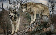 Švedijoje, nepaisant gamtosaugininkų pasipiktinimo, leista medžioti vilkus