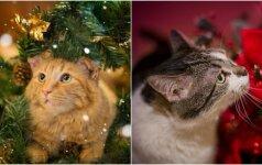 Tik pažiūrėkite, kaip švenčių laukia katės