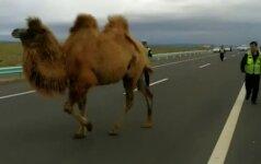 Kinijos greitkelyje lakstė du kupranugariai