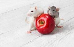Kaip išvengti pelių namuose?