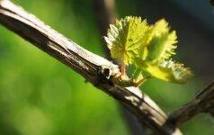 Jūsų vynuogynas pavasarį: kokių klaidų nedaryti