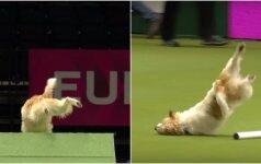 Šiam šuneliui negalioja jokios taisyklės: konkurso žiūrovai leipo juokais