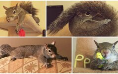 Mielumo viršūnė: išgelbėtas voveriukas šėlsta namuose