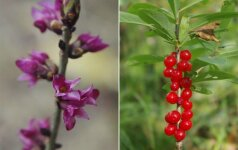 Pražydo augalas, kuris gąsdina mirtimi: negyjančios žaizdos ir krentantys dantys