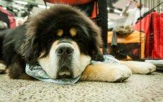 Tarptautinėje kačių ir šunų parodoje - reto grožio gyvūnai