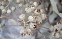 Augalai nuo peršalimo ligų. Eukaliptas