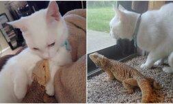 Driežas ir katinas
