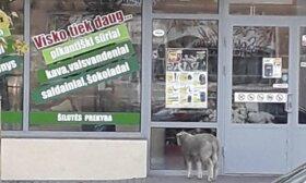 Nekasdieniai vaizdai Šilutėje: mieste pasiklydusi avis, kiškis prie bažnyčios ir įstrigęs medyje katinas