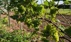 Kaip paruošti vynuogių krūmus žiemai