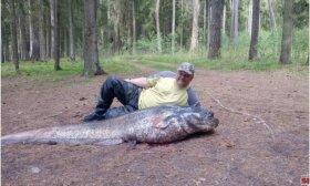 Sugavo gyvenimo žuvį: šamas svėrė daugiau nei 90 kilogramų