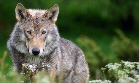 Gamtininkas: vilkai nebe tie, kaip prieš kelis dešimtmečius