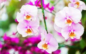 Patarimai, kaip priversti orchidėją žydėti dar iki Velykų