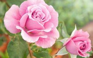 Rožės - ir jaunystei, ir sveikatai
