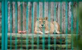 Zoologijos sodo kasdienybė – vieni mėgaujasi saulės voniomis, kiti leipsta iš karščio